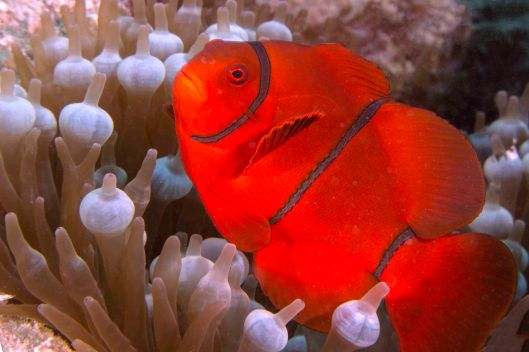 160201-028 GBR Spine Cheek Anemone Fish B1
