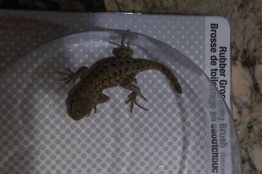 Lizard171024